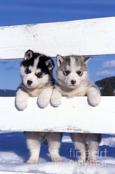Types of huskies - huskies are the best dogs ever