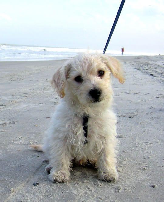Maltese Poodle Mix Awwwwnimals Pinterest