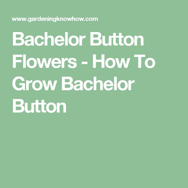 Bachelor Button Flowers - How To Grow Bachelor Button