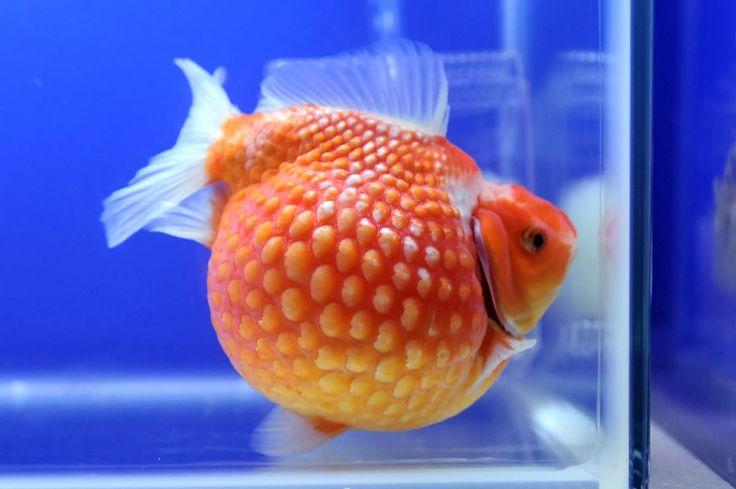 45 best goldfish fever images on pinterest goldfish for 405 tropical fish
