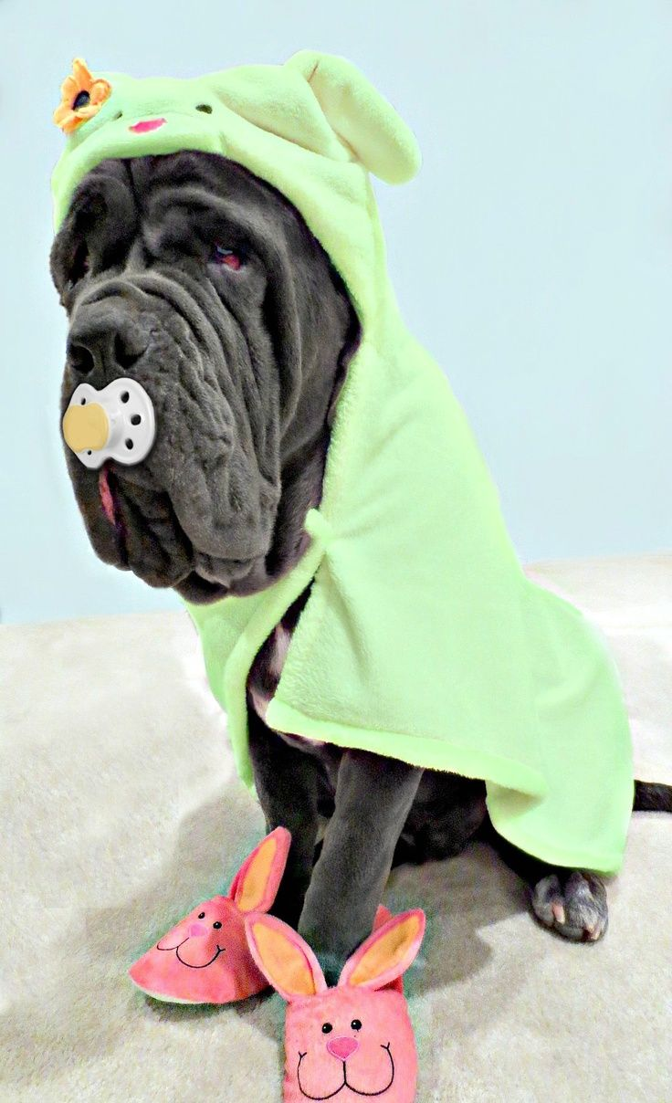Neapolitan Mastiff Baby Majestic Mastiffs Dogs