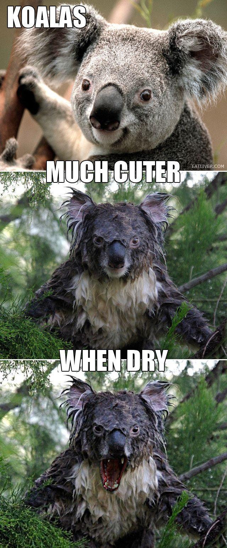 Koalas are much cuter when dry. Haha.fking terrifying
