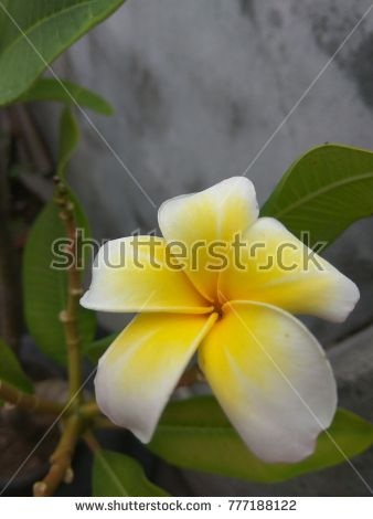 A beautifully bloomed Jasmine Garden Flower. Beautiful to sight on a rainy morning.