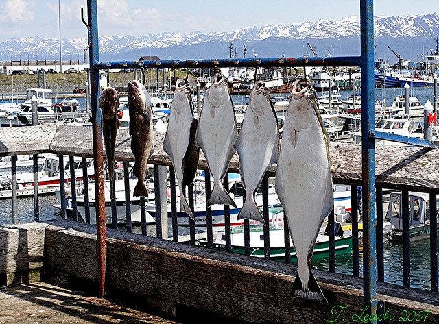 56 best homer alaska images on pinterest homer alaska for Halibut fishing homer