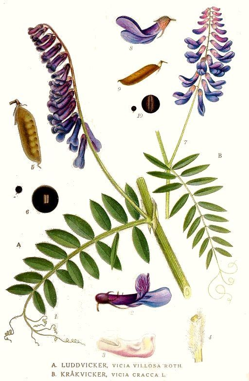 Permaculture Plants: Vetch - Scientific Name: Vicia species -  Family: Fabaceae (the Legume or Pea or Bean family) - zones 3-11 depending on variety