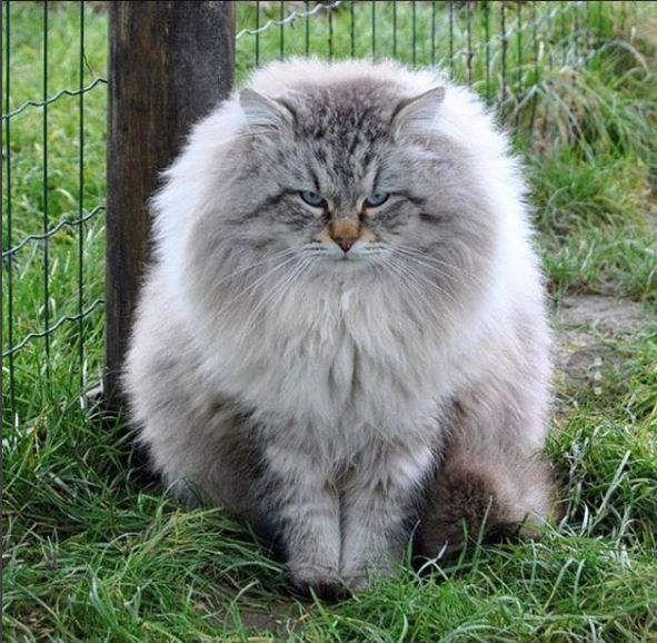 Gato Siberiano La Raza Del Bosque De Siberia Feelcats Gatos Bonitos Gato Siberiano Gatos