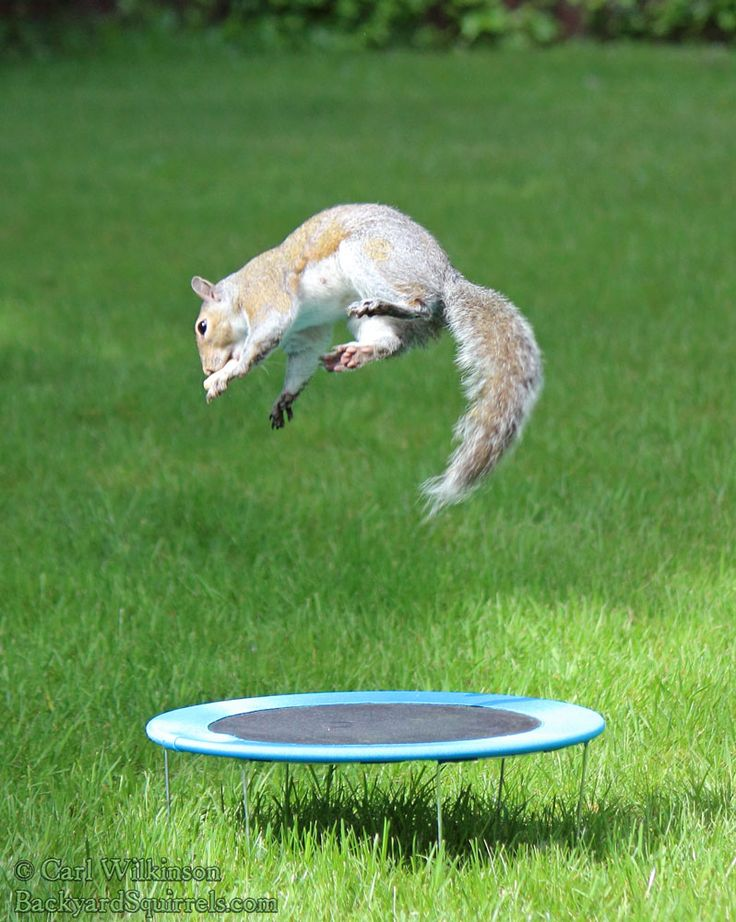 backyard squirrel is doing side flips and other tricks and gymnastics in the back yard.