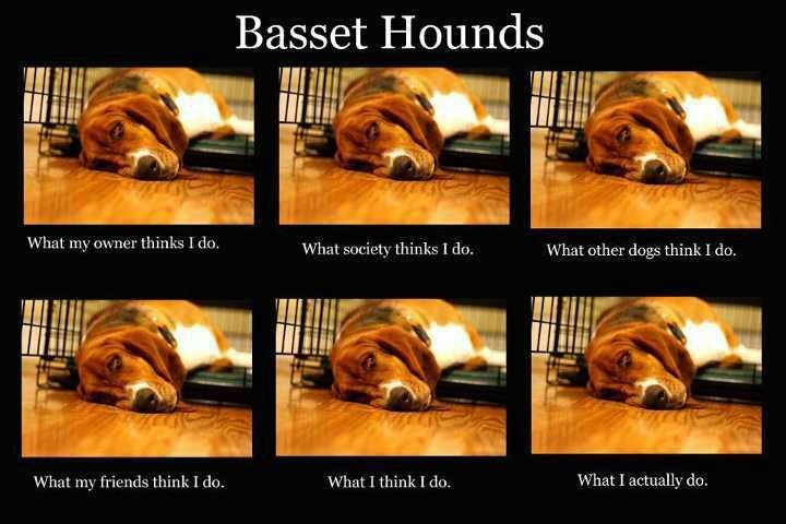 Not true ... Depends on the Basset hound I guess. •**•.¸☮❥•.¸¸¸.•✿**•.¸☮❥•.¸¸¸.•✿**•.¸