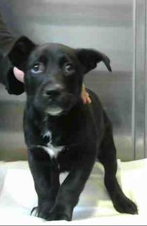 RESCUED! DEVORE,CA. Rocky ID#A689704. Only 8 week old. Rescue only. In quarantine for a bite that broke the skin. Available 02/22/18. Arrived 02/03/18.