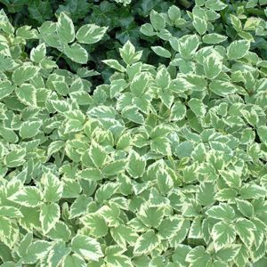 Tried and true, Aegopodium Variegatum is a great ground cover for full