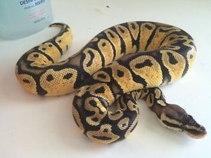 Exotic Live Tropic Python Snake, Beloved Royal Bloodline Reptiles and Creepy Cute Companions to the World