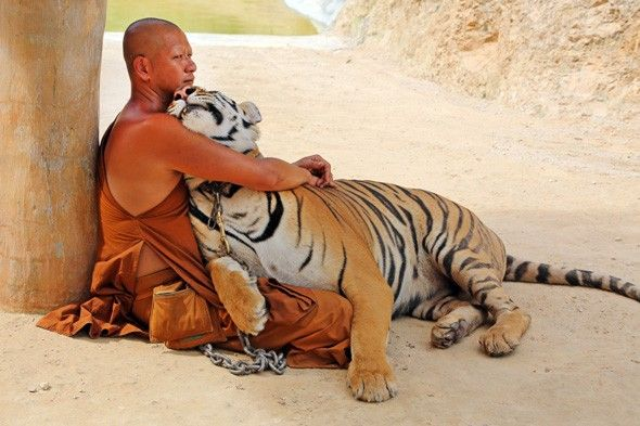 Pictures: Thailands Tiger Temple where monks cuddle up to predators