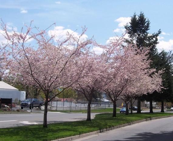 Autumnalis Cherry Tree 1 Gallon Potted Plant Pink Blossoms Etsy Cherry Tree Flowering Cherry Tree Prunus