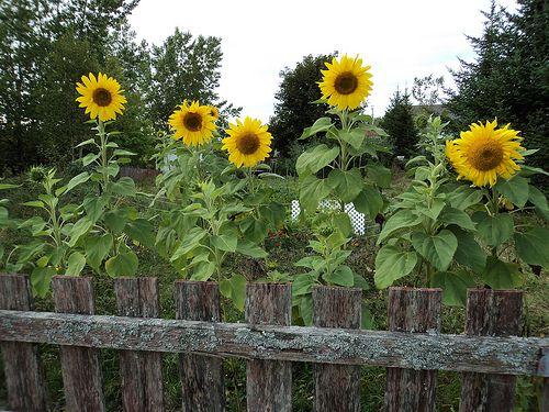 sunflower garden- environmentally friendly gardening tips #sunflowers