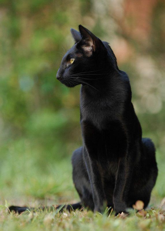 Black beautyBeautiful Cat, Beautiful Contrast, Black Panthers, Oriental Shorthair, Crazy Cat, Kitty Kitty, Black Beautiful, Black Cat, Cat Lady