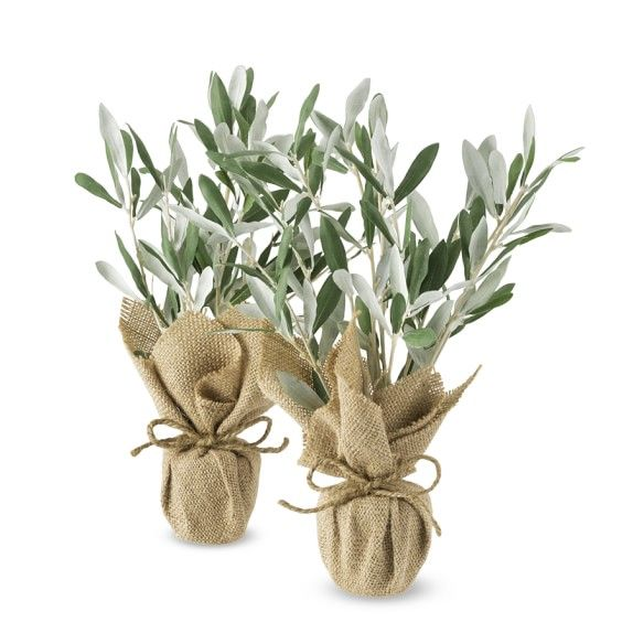 Mini Olive Trees, Set of 2
