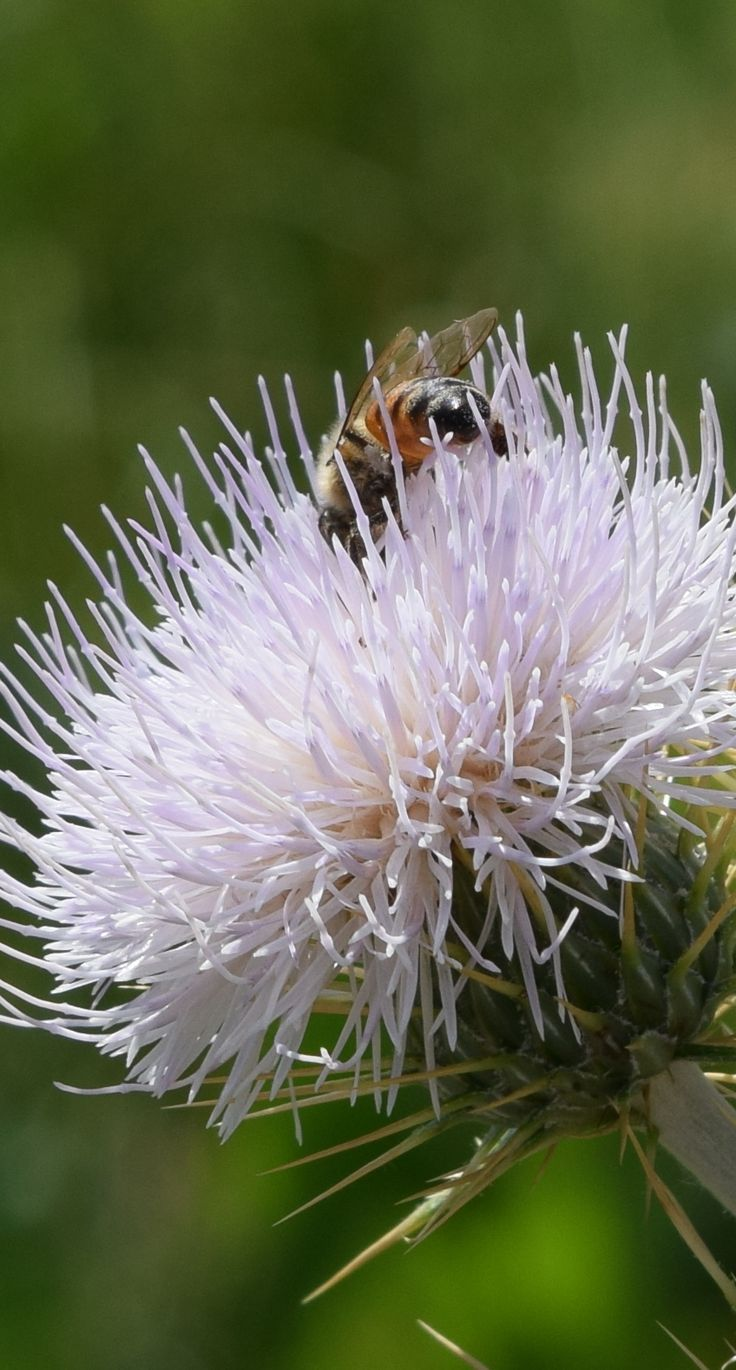 The bees were busy in the thistles at Calico Basin the last time I was out. #LasVegasOutdoors