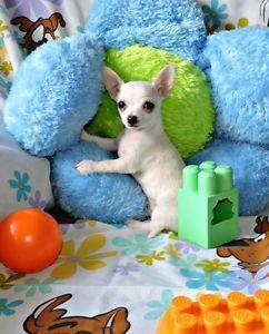 Chihuahua ❤ mâle blanc petit prince de sacoche ❤ Laval / North Shore Greater Montréal image 1