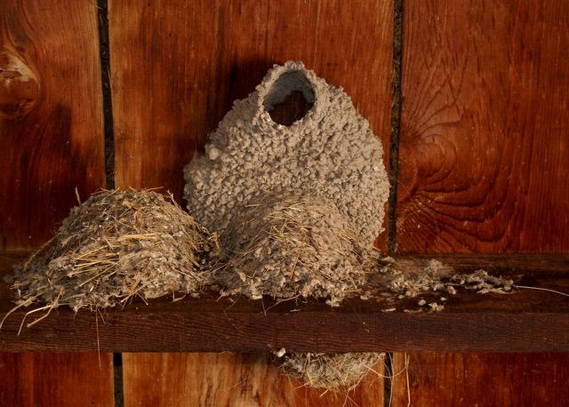 Barn Swallow nest | Birds, Birdhouses & Feeders ...