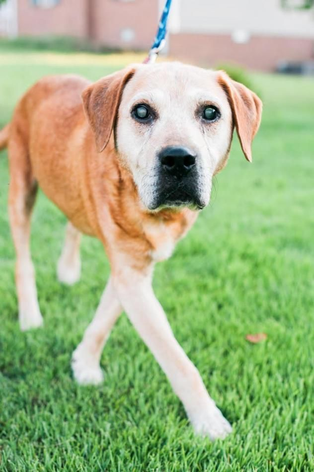 Bambino is a male Labrador Retriever mix-11yr. old senior. He is also special needs being mostly deaf & blind. He was found with his previous owner who died in his sleep a week after his death. Bambino is extremely sweet & gentle & is lookin for a retirement home for his golden years. Bambino is available at Big Fluffy Dog Rescue, Nashville,TN.
