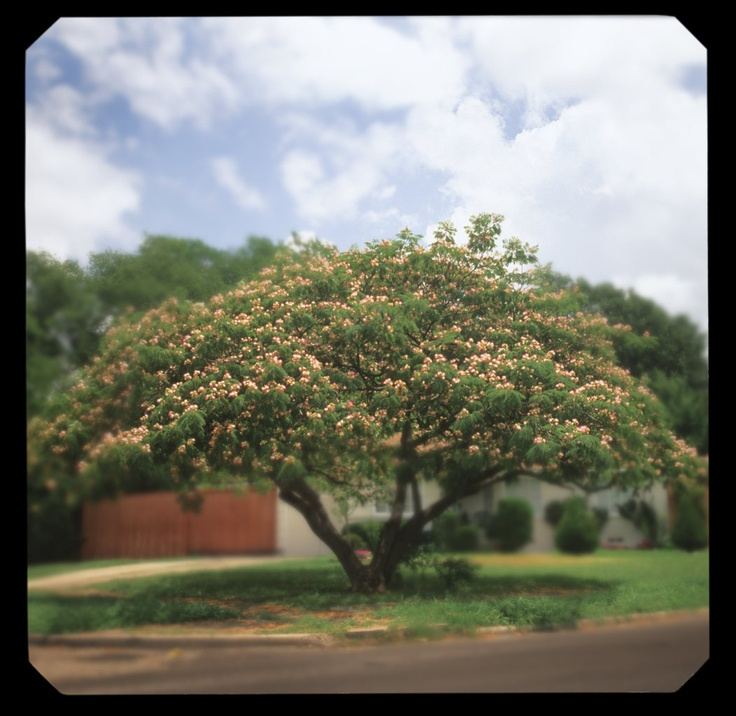 Small Ornamental Trees Nc: 13 Best Trees Of North Carolina Images On Pinterest