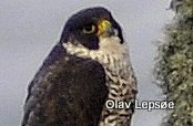 Peregrine falcon / Vandrefalk. Runde, Norway. By Olav Lepsøe.