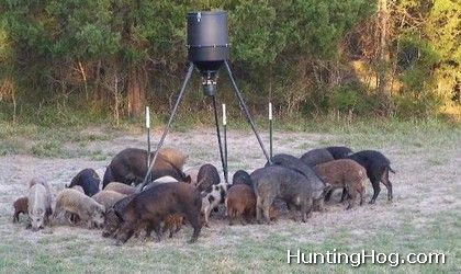 Hog Hunting Tip for Hunters: Make Clean Kills!
