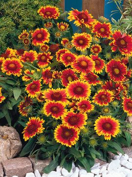 an excellent flower that comes up every year, loves all sun and withstands dry ground.  great grower, love the color.