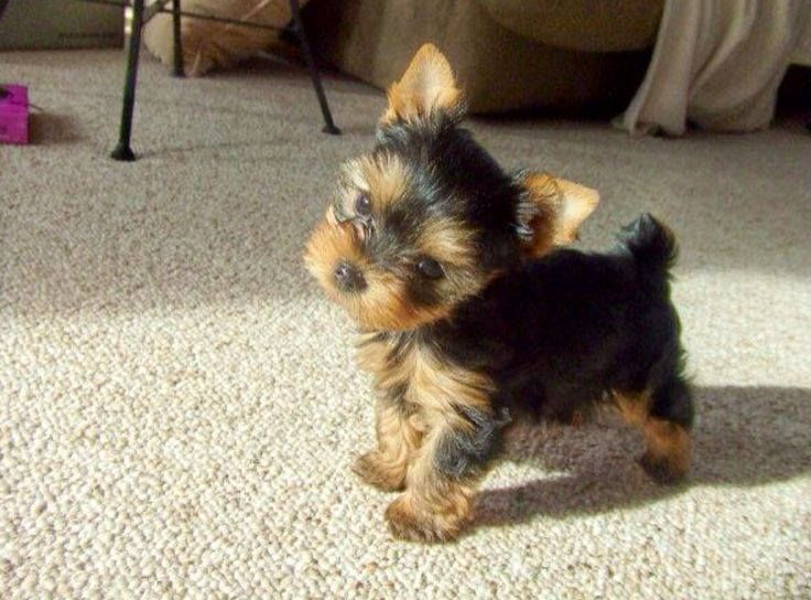 12 Ways Your Yorkies Show You Love And