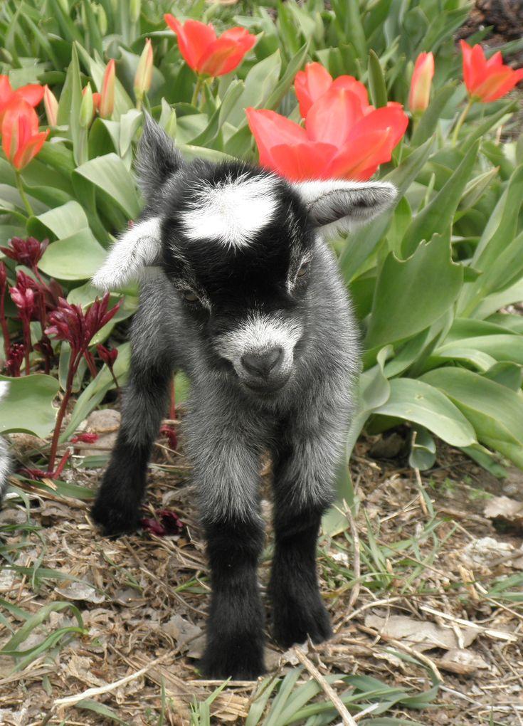 Baby Pygmy Goat & Tulips ....