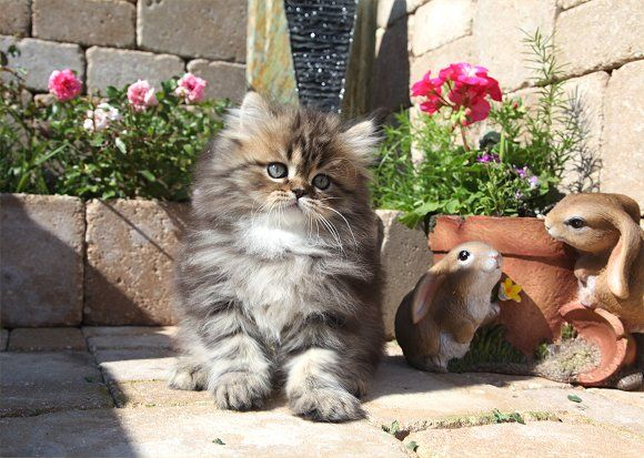 Tabby Teacup Persian Kitten
