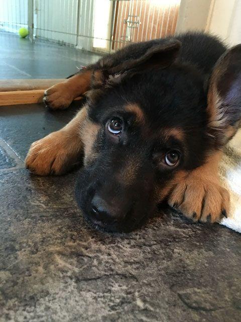 GSD Puppy  shop cool dog stuff at https://www.k9kitsch.com