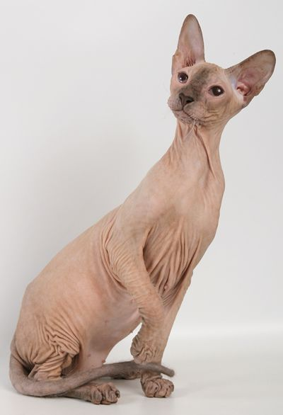 chat peterbald