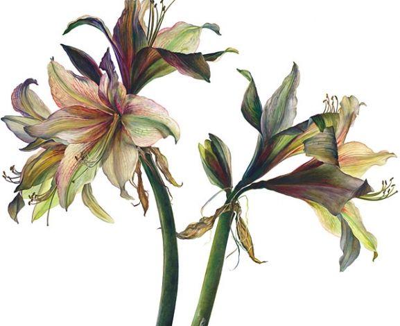 Amaryllis 'Fledermaus' by Rosie Sanders - botanical artist