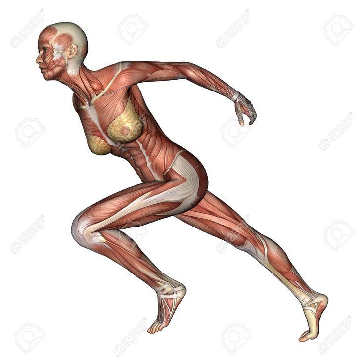 34 best sistema osteo muscular images on Pinterest | Human anatomy ...