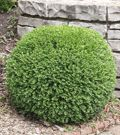 Wintergreen Boxwood   Attractive Fine-Textured Evergreen