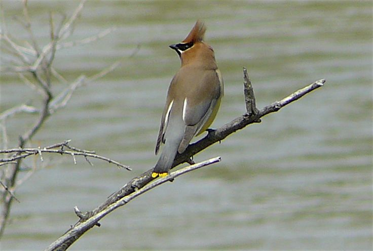 "Cedar Waxwing - one of the ""best dressed"" birds."