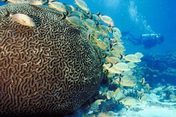 coral reef, sea, ocean: Scubas, Strong, Reef Scuba Diving, Georgia, Ocean, Coral Reef Scuba, Coral Reefs