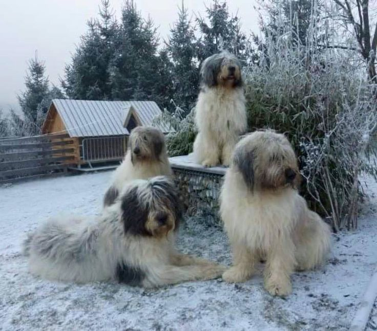 The Romanian Mioritic Shepherd Dog is a large breed of livestock guardian dog that originated in the Carpathian Mountains of Romania.
