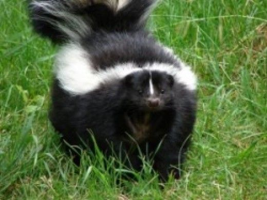 How to Get Rid of Skunk Smell With a Home Remedy to Eliminate Odor on Pets
