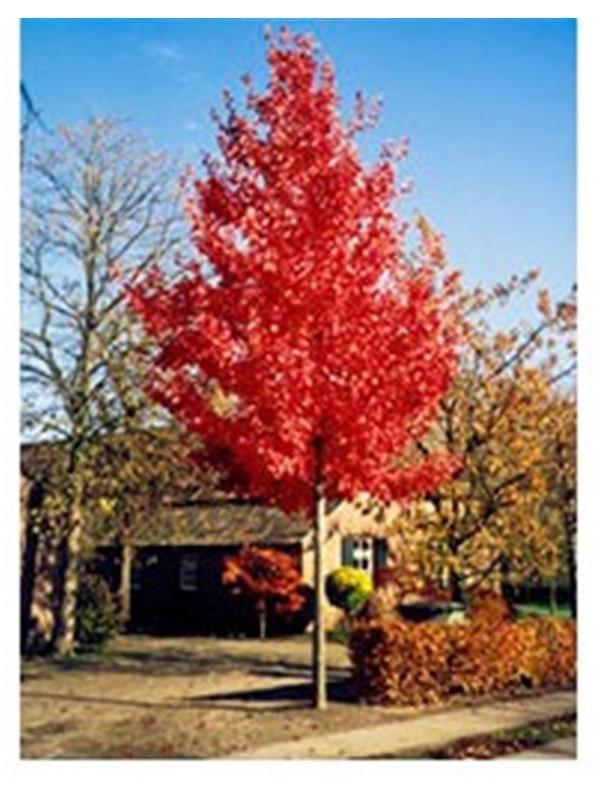 ACER RUBRUM RED SUNSET (Größe 200-220cm)