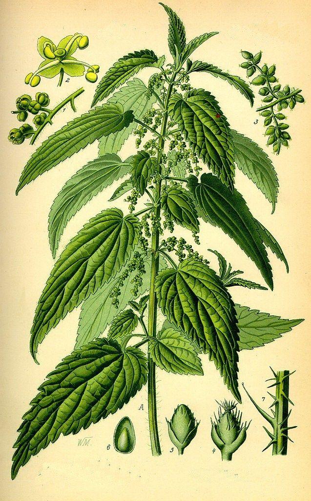I racconti popolari sull'ortica si perdono nella notte dei tempi.  L'ortica (Urtica dioica, L.) è una pianta erbacea perenne, nativa d