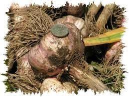 как вырастить большой урожай чеснока без грядки
