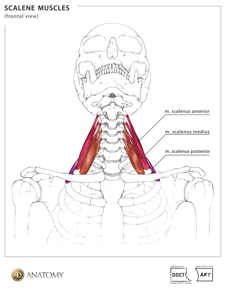 best 25  neck muscle anatomy ideas on pinterest