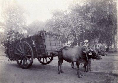 Ossenkar van de stadsreinigingsdienst te Soerabaja 1911 (Collections KITLV)
