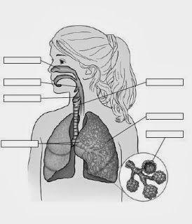 IMÁGENES                       FICHAS     Órganos del aparato respiratorio     La respiración                   ACTIVIDADES PDI            ...