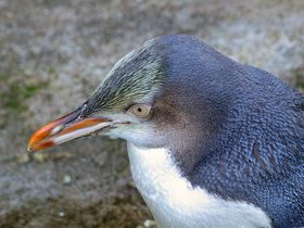 See the Yellow Eyed Penguin at Moeraki lighthouse for free