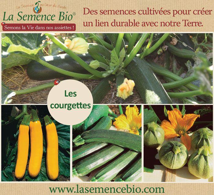 A Semer Au Potager Ou En Pot La Courgette Est Un Legume Facile A Cultiver Semis Potager Bio Cultiver Potager Potager Facile