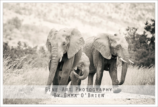 Elephants walking at Pilanesberg National Park http://emmaobrien.com