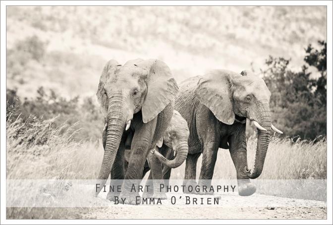Elephants walking at Pilanesberg National Park http://emmaobrien.com